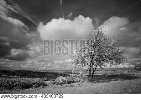 Infrared Lone Tree At Coaley Peak, Gloucestershire