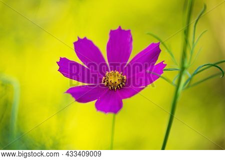 Beautiful Purple Cosmos Flower In The Garden. Violet Flowers Pictures. Cosmos Bipinnatus, Commonly C