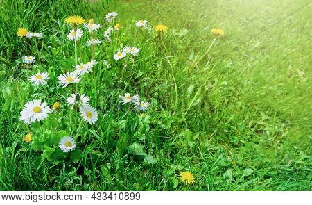 Green Fresh Partially Cut Grass, Field Of Daisy And Dandelion Flowers Under The Bright Sun, Natural