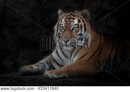 A Strong And Beautiful Tiger Sits Calmly In The Darkness Against The Background Of Sal, The Amur Tig