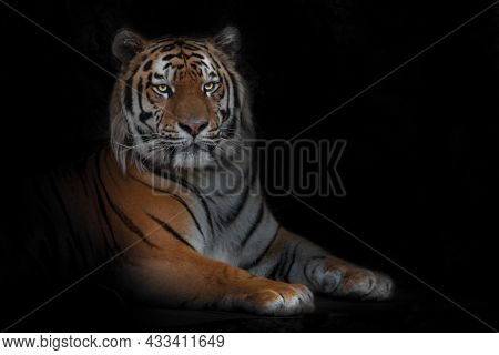 Beautiful Yellow-faced Proud Royal Tiger Sits Stretching Out Its Paws, The Expression Of The Muzzle
