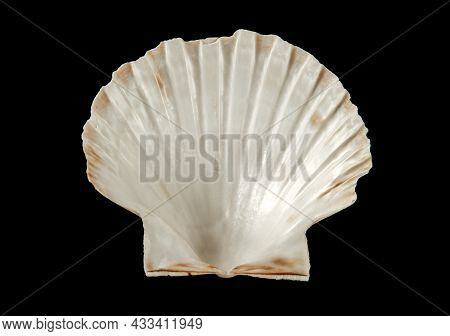 White Scallop Shell Isolated On Black Background