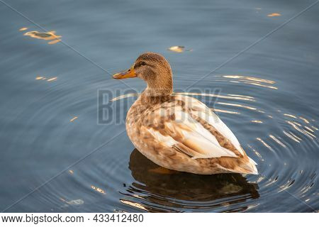 Yellow Colored Mallard Female Duck Swims In The Pond. Animal Polymorphism. Portrait Of A Female Of D