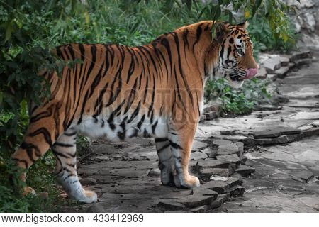 A Tiger Comes Out Of The Green Forest Predatory Licking Its Lips, The Amur Tiger Bright Colors Green