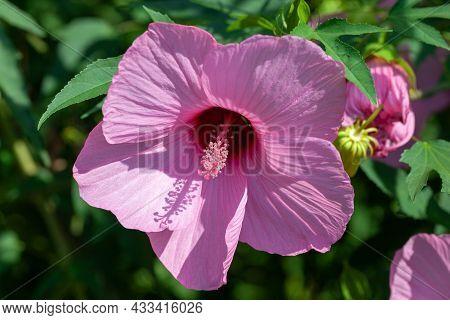 Purple Hibiscus Flowers, Wild Flowers . Purple Flower On Natural Background.