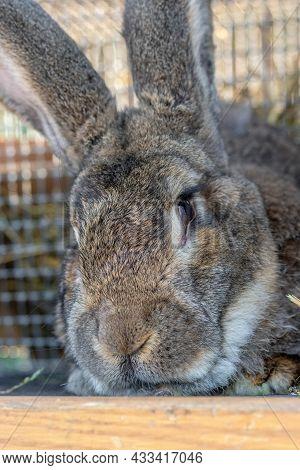 Big Gray Rabbit Breed Vander In A Cage Close Up. Breeding Rabbits On The Farm