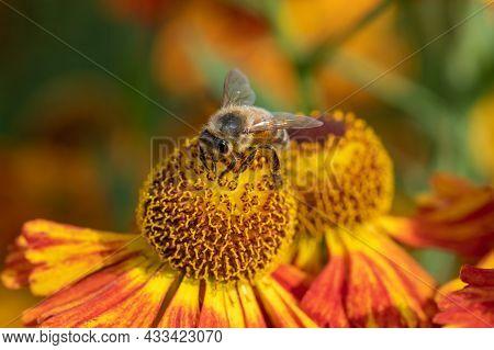 Common Sneezeweed (helenium Autumnale) Flowers