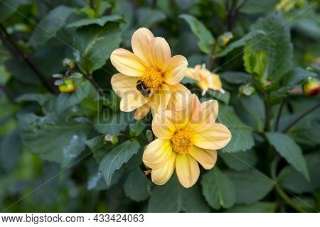 Two Blooming Ortwo Blooming Orange Dahlias On A Green Background. A Bumblebee On A Flower Head.ge Da