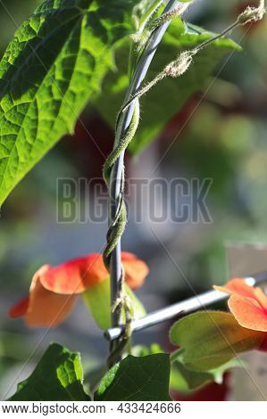 The Twisted Vine On A Thunbergia Plant