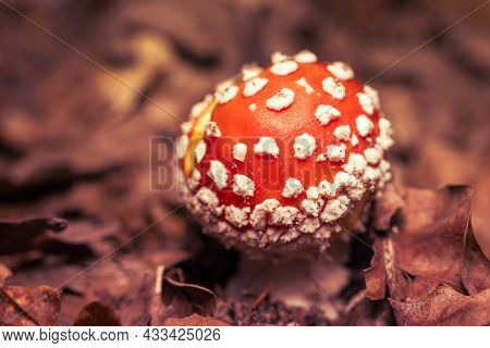 Amanita Mushroom In The Autumn Forest Among Fallen Leaves.
