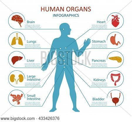 Human Organs Infographics. Human Body Anatomy With Icons Of Human Internal Organs. Isolated. Vector
