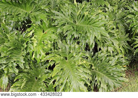 Large Green Leaves Of A Plant Usually Known As Philodendron, Lacy Leaf Philodendron, Or Philodendron