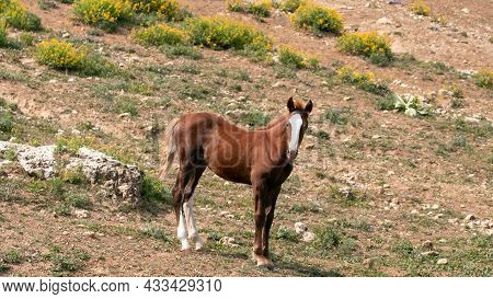 Bay Colt Wild Horse Mustang In The Pryor Mountains Wild Horse Refuge On The Border Of Montana And Wy
