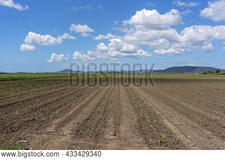 A Sugar Cane Field With Young Cane Planted In Double Rows Under A Cloudy Blue Sky