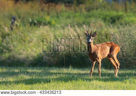 Young Roe Deer On The Meadow, Wild Life Poland