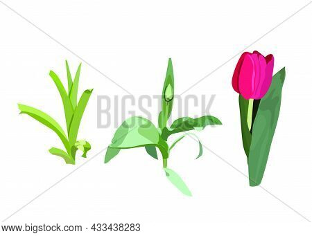 Tulip Growth Stages: Sprout, Plant With Unopened Bud, Flowering Plant. Spring. Realism Style. Vector