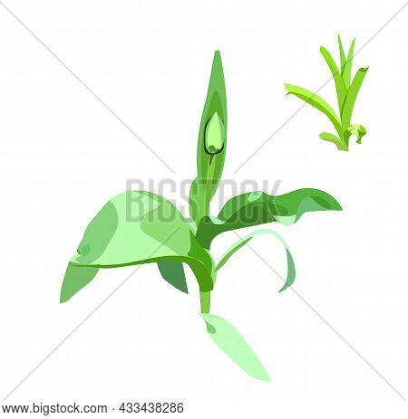 Tulip Flower With Unopened Bud. Spring. Realism Style. Vector Stock Illustration Isolated On White B