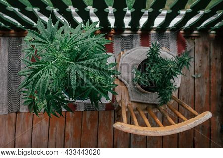 Top View Of Cannabis Or Marihuana Plants On Balcony. Left Copy Space. High Angle View Of Marijuana L