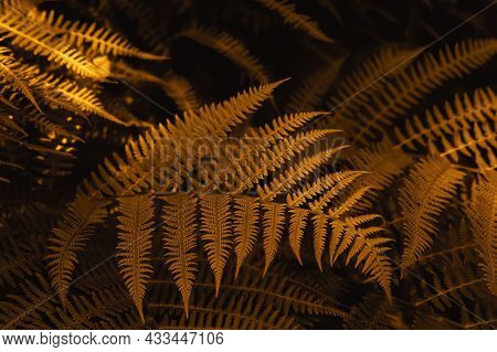 Autumn Ferns Leaves Background In Sunlight. Dark Yellow Foliage Natural Floral Pattern. Selective Fo