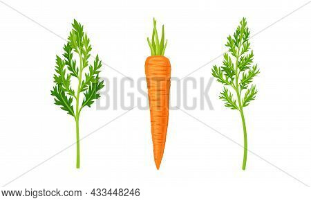 Carrot As Orange Root Vegetable With Thick Green Top Leaves Vector Set