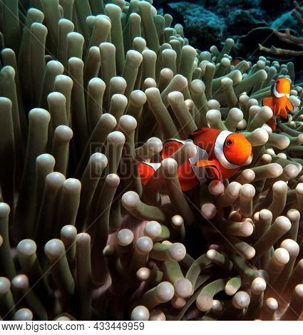 A Pair Of False Clown Anemonefish In Anemone Boracay Philippines