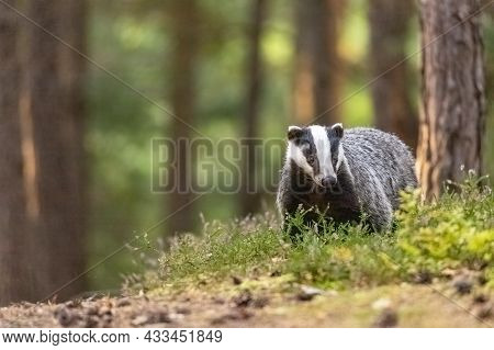 European Badger Standing In A Heather Is Looking At The Camera. Horizontally.