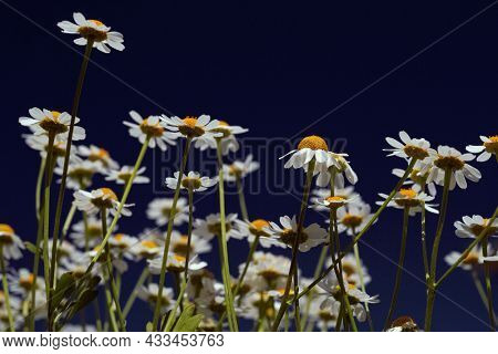 Ð¡hamomile (Matricaria recutita), blooming plants  on a sunny day against blue sky, with space for text