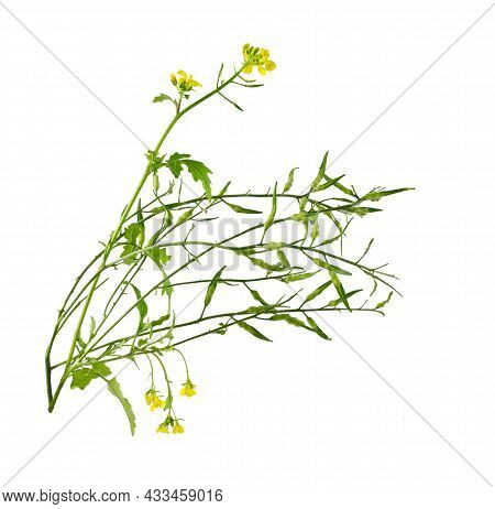 Mustard Flower Blossom, Canola Or Oilseed Rapeseed With Pod Isolated On White Background. Rape Oil.