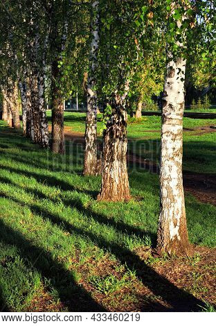 Trunks Of Birch Trees In The Spring