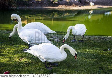 A White Mute Swans