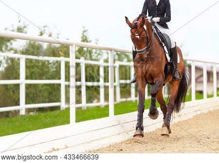 Classic Dressage Horse. Horse Rider Girl And Horse. Trot Strengthening Suspension. Equestrian Compet