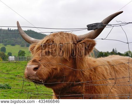 Close Up Of Brown Highland Cow In Field, Scotland