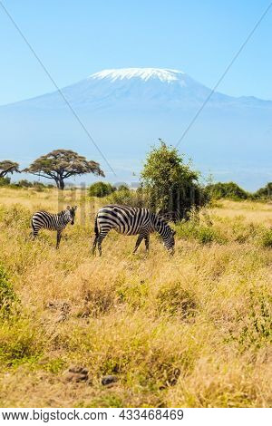 Southeast Kenya, the Amboseli park. Trip to the Horn of Africa, Kenya. Family of striped zebras graze in the savannah. The peak is Mount Kilimanjaro with a snow cap on a flat top.