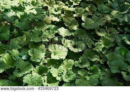 Burdock Field, Big Leaves. Background With Large Green Leaves Of Burdock.
