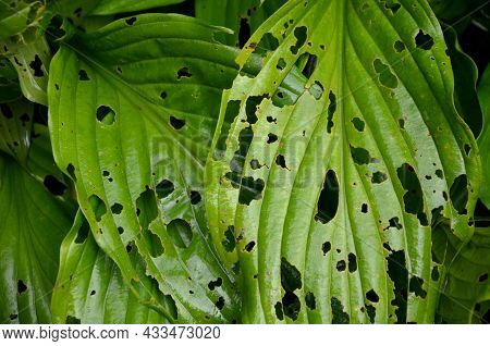 Can Cause Extensive Damage To Vegetables In Some Years. Its Caterpillars Have A Destructive Effect O