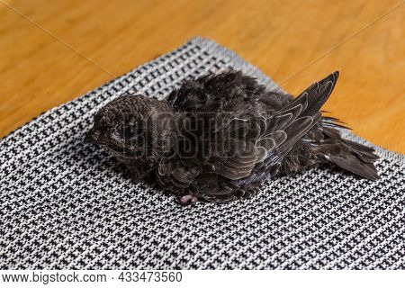 Not Fully Fledged Nestling Of Black Swift That Was Fallen Out Of The Nest And Handpicked For Salvati