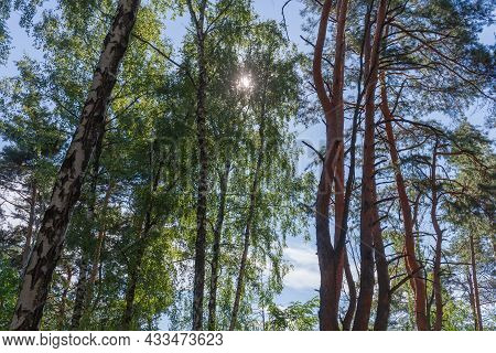 Fragment Of The Mixed Deciduous And Coniferous Forest With Sun Beams Through The Birch Foliage At Su