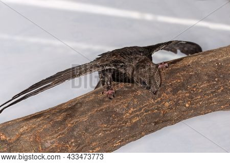 Nestling Of Black Swift Handpicked For Salvation After That Was Fallen Out Of The Nest, Is Sitting O