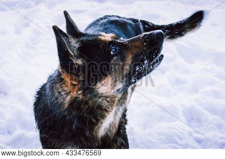 The German Shepherd Is Very Fond Of Winter And Snow. Happy And Beautiful Dog On The Background Of Sn