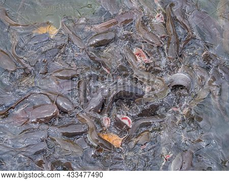 Many Of Catfish In The Pond Are Waiting For Food. Full Frame Photo And Close Up