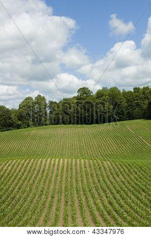 Corn Field Vertical