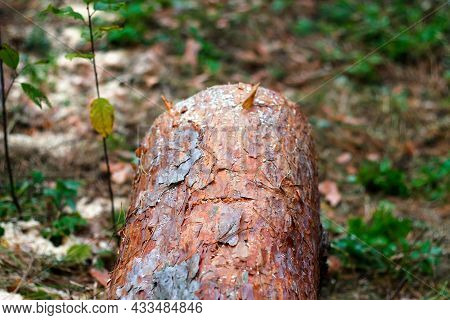 Defocus Log Of Pine Tree In Autumn Forest. Saw Cur Wood. Saw Cut Of A Large Pine Tree. Nature Wood O