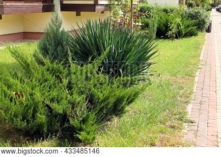 Bush Of Juniper And Bush Of Yucca Along The Footpath. Closeup. Junipers Are Coniferous Plants In The