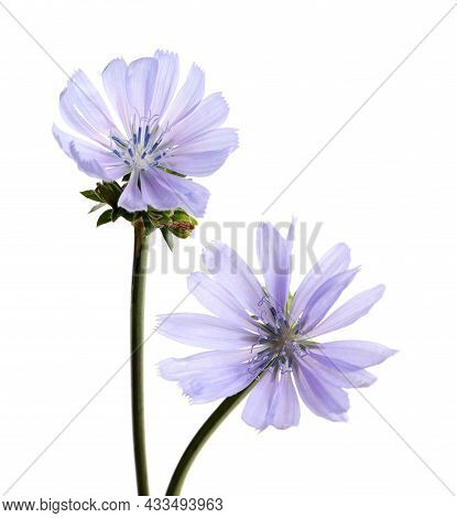 Beautiful Blooming Chicory Flowers On White Background