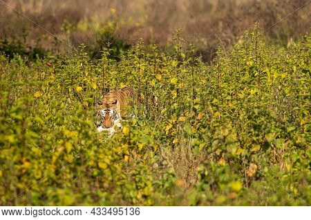 Survival Of The Fittest Wild Royal Bengal Tiger With Spotted Deer Kill In Mouth Or Jaws With Eye Con