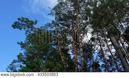 Summer Evening. Pine Crowns On A Blue Sky Background.