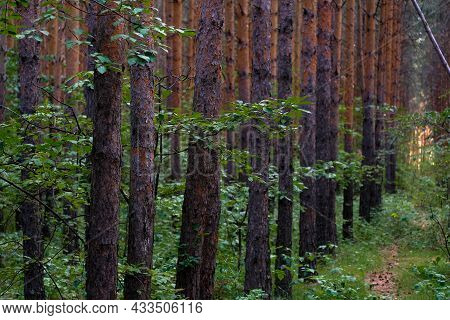 Pine Trees Grow In One Row In The Forest. No One