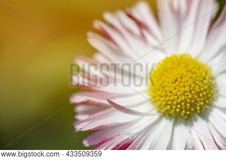Daisy Macro On Green Sunny Blurred Background Banner. Macro Nature Spring Flower Closeup