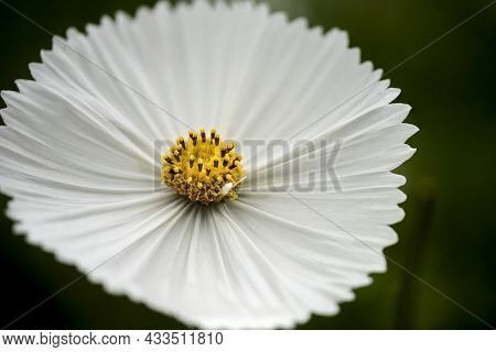 Stunning Close Up Macro Image Of Mexican Aster Cosmos Bipinnatus White Flower In English Country Gar
