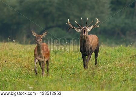 Couple Of Red Deer Approaching On Meadow In Mating Season